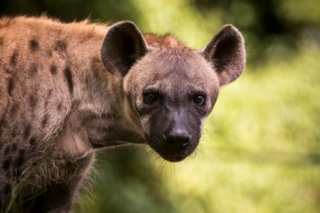 close-up gezicht van hyena en oog op zoek naar jacht Stockfoto
