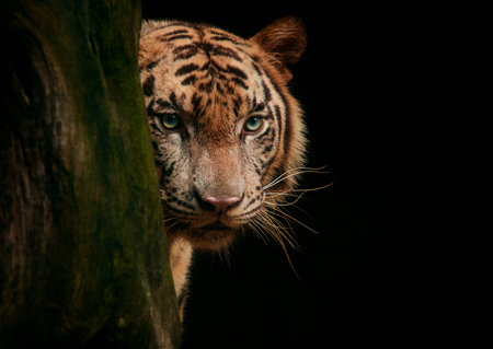 tiger face eyes looking for hunting against black background Banque d'images