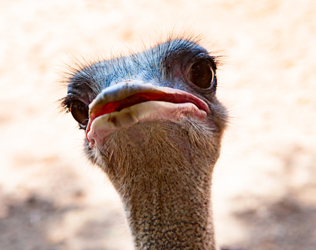close up of ostrich head in field Stock Photo