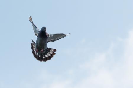 맑은 아침 하늘을 비둘기 원정 비행