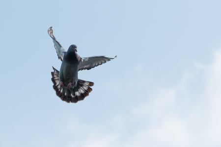 flying homing pigeon against clear morning sky Stock Photo