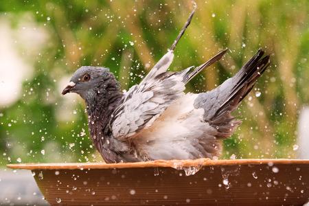 homing pigeon bathing in water jar