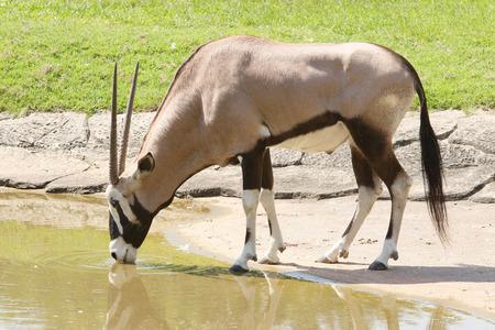 gemsbok antilope drinking water in field