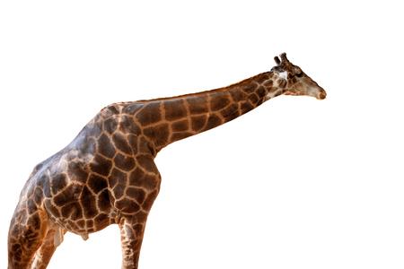 높은 기린 격리 된 흰색 배경 측면보기