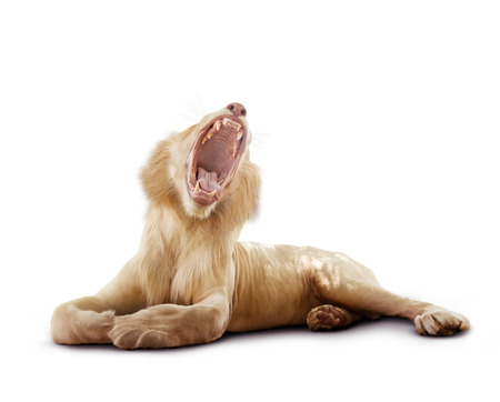 full body of male lion yawning and lying on white background Stock fotó