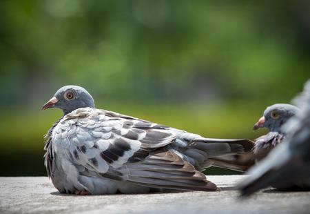 homing pigeon sun bath on home loft Banco de Imagens