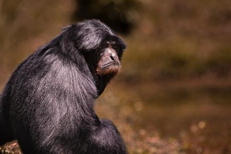 portrait face  of siamang gibbon  against blur background