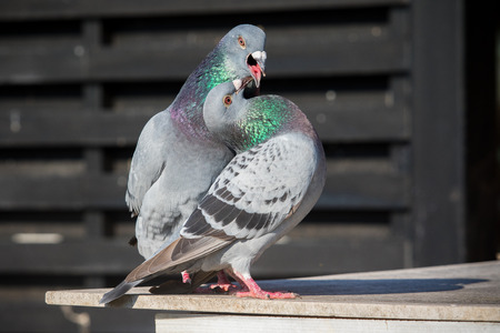 couples of homing pigeon bird natural mating Imagens