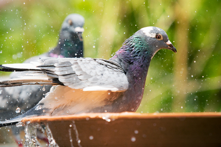 close up homing pigeon bird bathing in water bowl