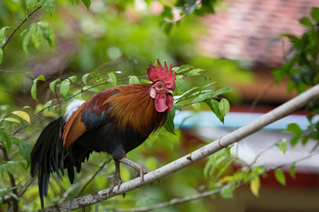 red jungle fowl walking on tree branch