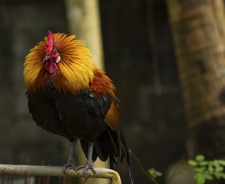 full body of beautiful culor male red jungle fowl Stok Fotoğraf