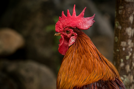 close up head of red jungle fowl against blur background