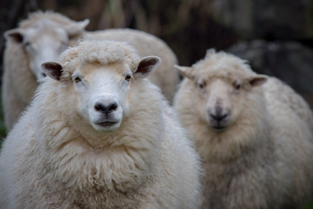 close up face of new zealand merino sheep in rural agricultural farm