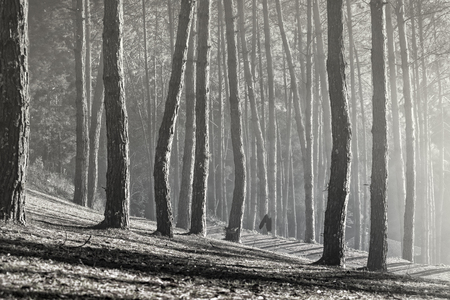 black and white photography of pine forest in northern of thailand