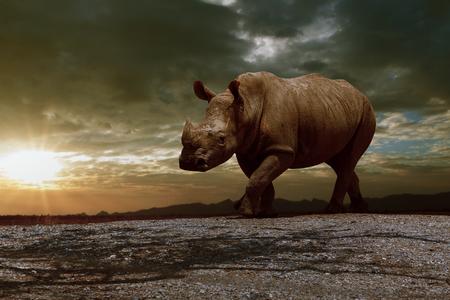 nosorożce afrykańskie chodzące po brudnym polu na tle pięknego zachodzącego nieba Zdjęcie Seryjne