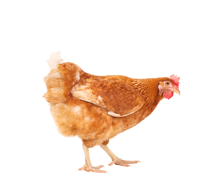 full body of brown chicken ,livestok isolated white backgorund