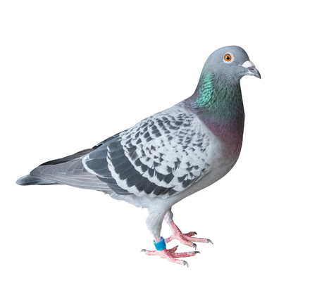 side view full body of homing pigeon bird isolated white background