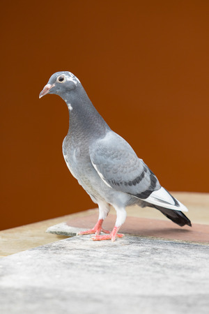Full body of young homing pigeon bird standing on home loft