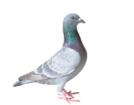 Voller Körper von Homing Taube Vogel isoliert weißen Hintergrund Standard-Bild