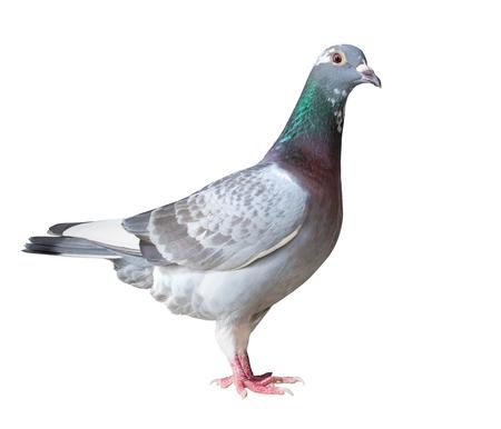 Seitenansicht voller Körper des Brieftaubenvogels lokalisierte weißen Hintergrund Standard-Bild