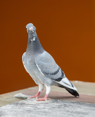 young homing pigeon bird standing on wood floor against colorful wall 写真素材