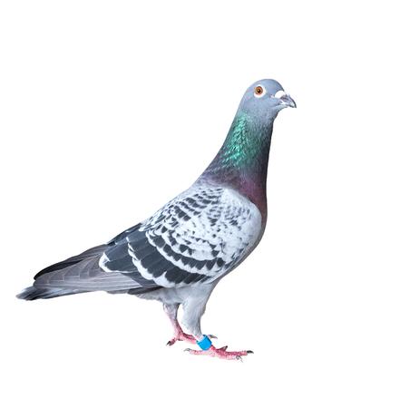 Ganzkörper der Geschwindigkeit Drohne Vogel Vogel isoliert weißem Hintergrund