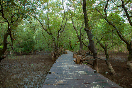 wood bridge walking trail in mangrove forest