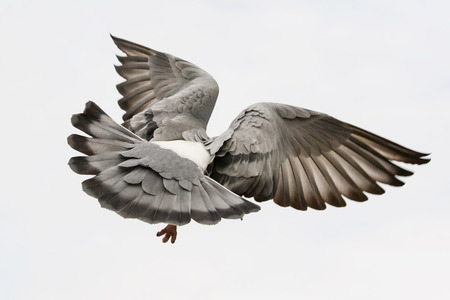 flying pigeon bird feather wing agains white sky Stock Photo
