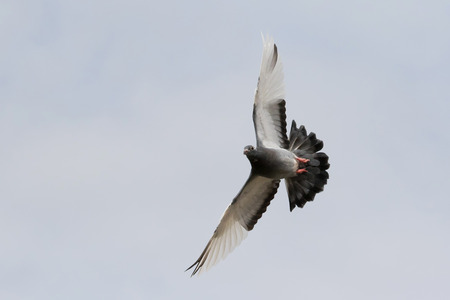 flying homing pigeon bird flying agaianst clear white sky Stock Photo - 91992483