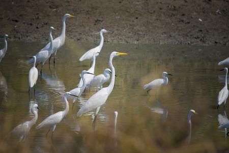 タイの湿った土地で自然のエグレット鳥の群れ 写真素材