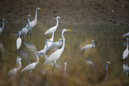 flock of natural egret bird in wet land of thailand