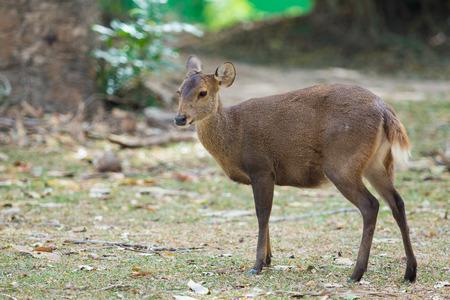 female deer on forest field