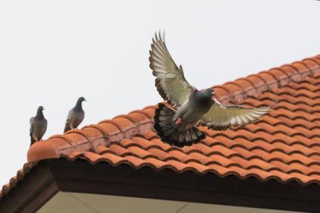 집 지붕 타일에 그친 비둘기 새 비행 비행 유치