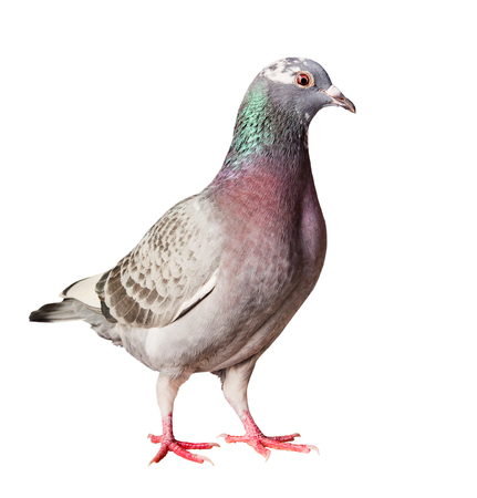 portrait full body of speed racing homing pigeon isolated  white background