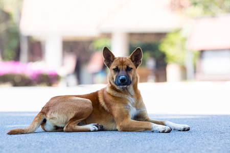 thai domestic street dog lying on asphalt road