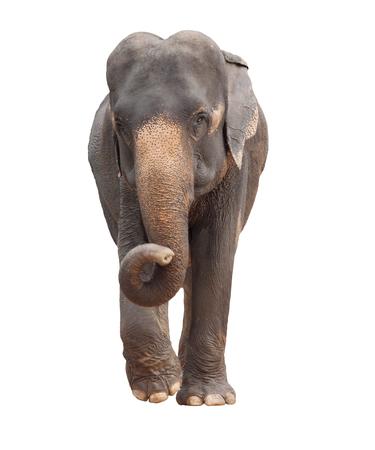 volledige lichaam van Azië olifant geïsoleerd witte achtergrond Stockfoto