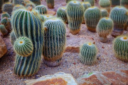 cactus ,succulent on sand of desert Imagens