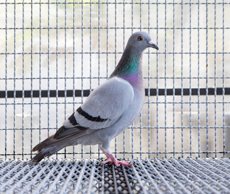 Side view full body of speed racing pigeon bird in home