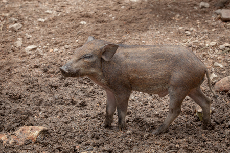 Single young of wild boar standing on dirt field