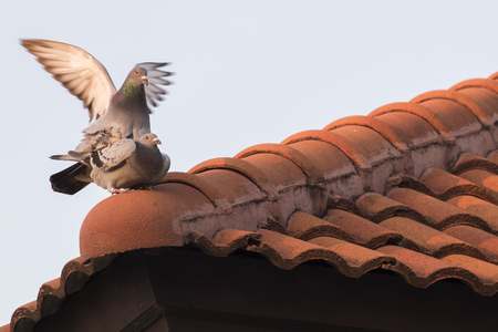 homing pigeon bird mating on home roof