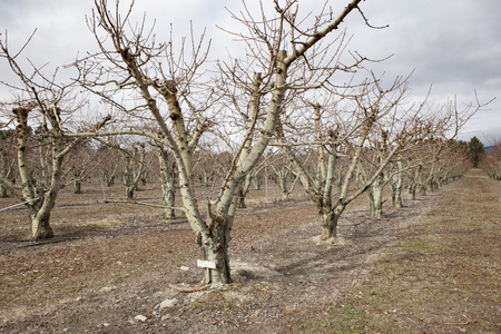 クロムウェルタウンニュージーランドの果樹園プランテーション 写真素材