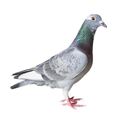 귀가 비둘기 조류의 전체 본문 격리 된 흰색 배경