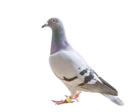 voller Körper des Homing Speed-Brieftaubenvogels lokalisierte weißen Hintergrund