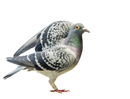 speed racing pigeon bird approaching for take to flying isolated white background Stock Photo