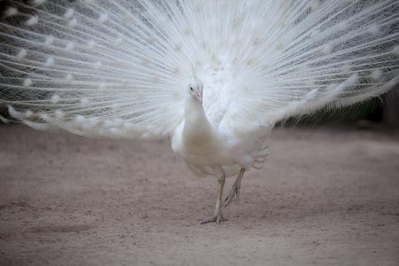 흙 필드에 아름 다운 팬 꼬리 서 흰색 꿩