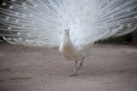 white pheasant with beautiful fan tail standing on dirt field