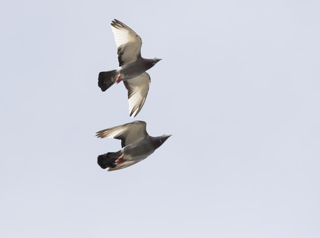 two homing pigeon brid flying over sky