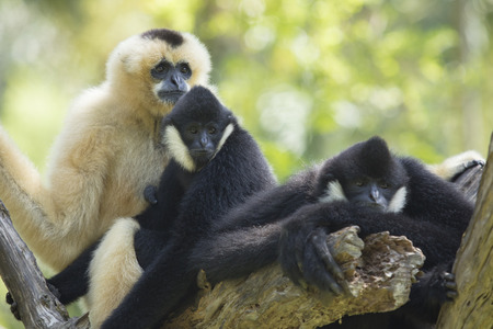family of siamang gibbon on tree branch