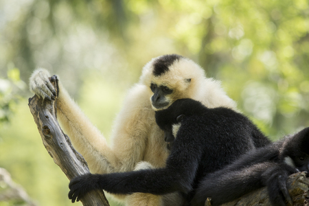family of sia mang gibbon on tree branch Stock Photo - 96698631