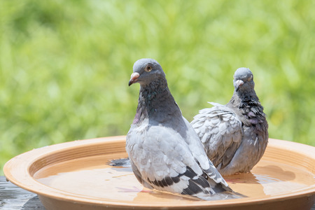 homing pigeon bird bathing in water dish  Stock Photo